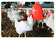 chicken poultry farm farming