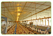 chicken hatchery farm farming