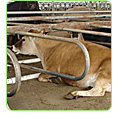cow water beds barn bedding